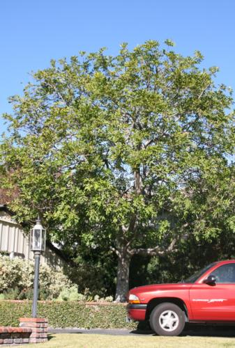 Picture taken of Cupania tree after trimming.