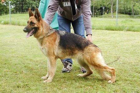 Vom Springer German Shepherds image 5