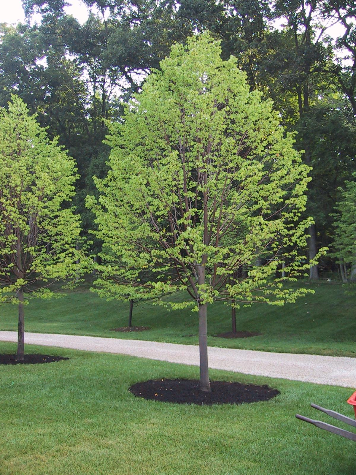 Mulching is a good tree care practice, when it is done correctly. The mulch well should be approximately the size of the tree drip line and not deeper than a few inches. Although we often see these 'm