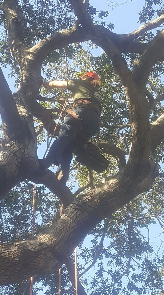 Installing cables in a tree is a two man operation. Gero pulls the cable taunt and Kino tightens the turn buckle so that there is no slack.