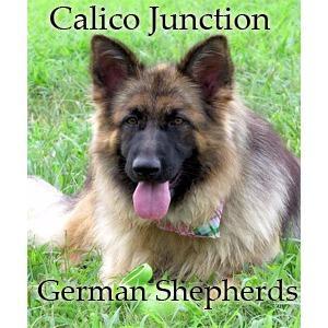 Calico Junction German Shepherds image 4