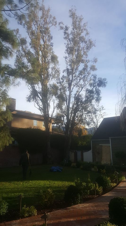 Two Eucalyptus trees that need to be removed because fungus ( Armillaria Mellea) has compromised their stability.