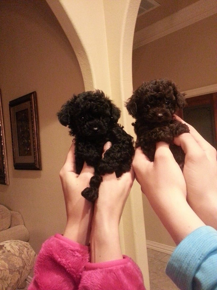 Puttin On The Ritz Poodles image 21