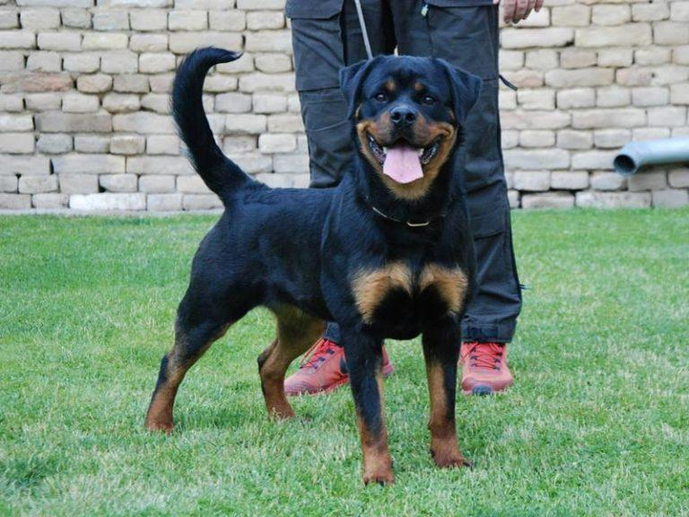 King Rottweilers image 2