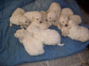 Southfork Puppies image 4