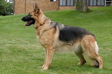 Vom Springer German Shepherds image 0