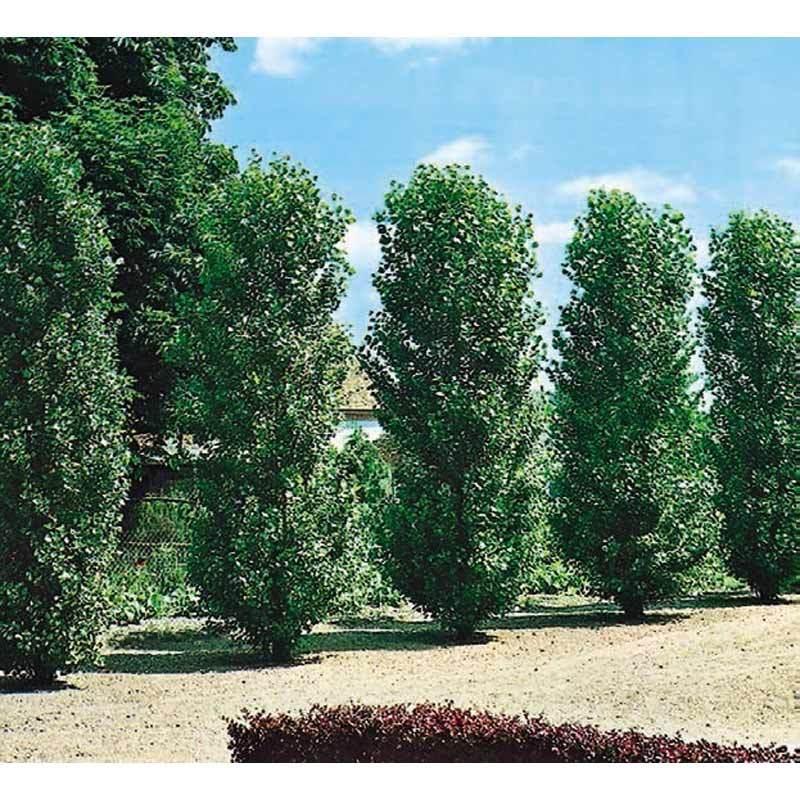 Societ agricola vivai dainese vivai piante for Piante da frutto nord italia