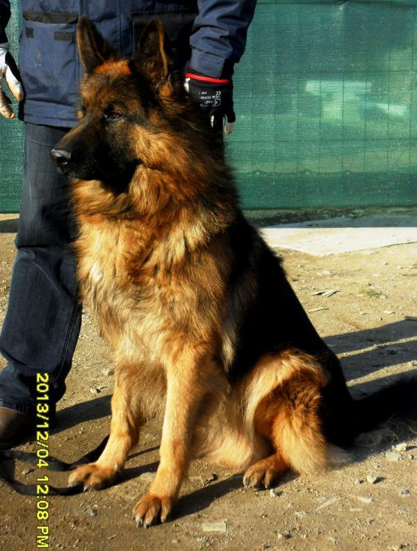 Calico Junction German Shepherds image 1
