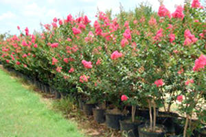 Alfaro Tree Sales Inc image 1