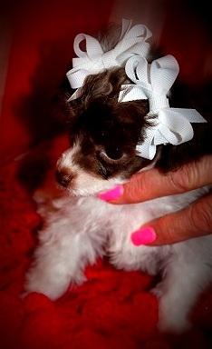 Puttin On The Ritz Poodles image 16