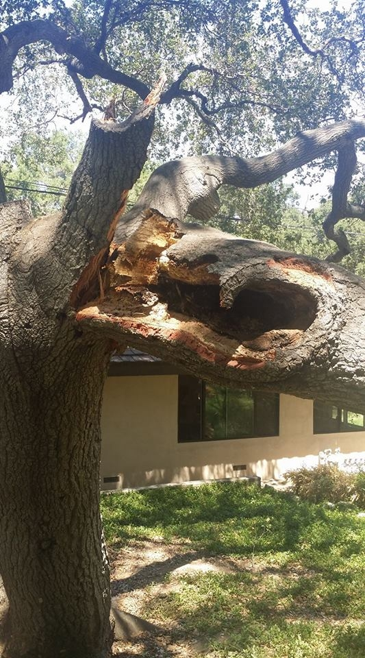 This old cavity in the oak eventually rotted the heart wood enough for a major terminal to collapse.