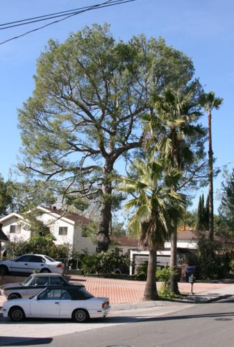 Picture taken of Elepo Pine after trimming.