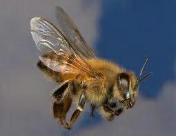 The Bee Man image 0