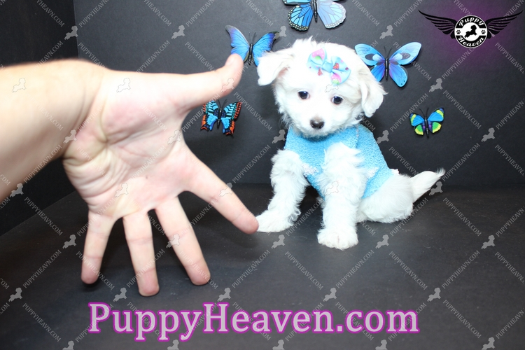 Puppy Heaven Teacup Toy Puppies For Sale Dog Breeder Las