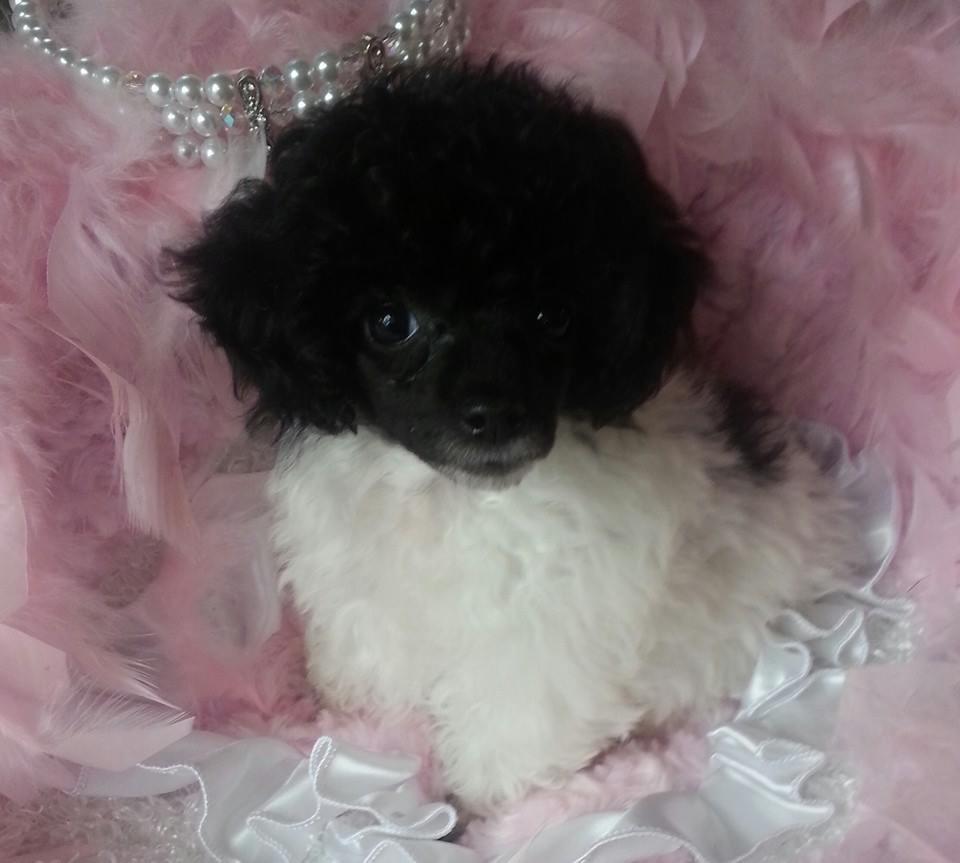Puttin On The Ritz Poodles image 2