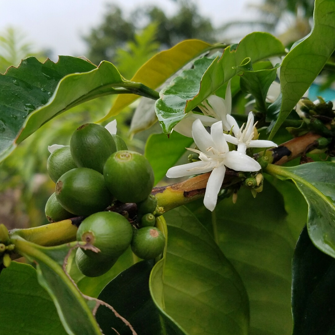 Kona Farm Direct Coffee image 10