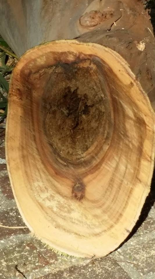 Old eucalyptus trees can rot both on the inside trunk as well as in out ward limbs.