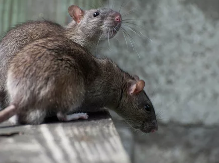 Rodent Solutions Pro - Rodent Proofing | Attic Insulation Removal Oakland, CA image 7