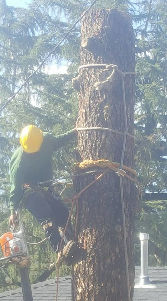 Specialized rigging tools like this rope and thimble allow for a tree worker to lower large pieces of wood safely to the ground. The lowering line is a 12 strand rope and the knots utilized to hold th