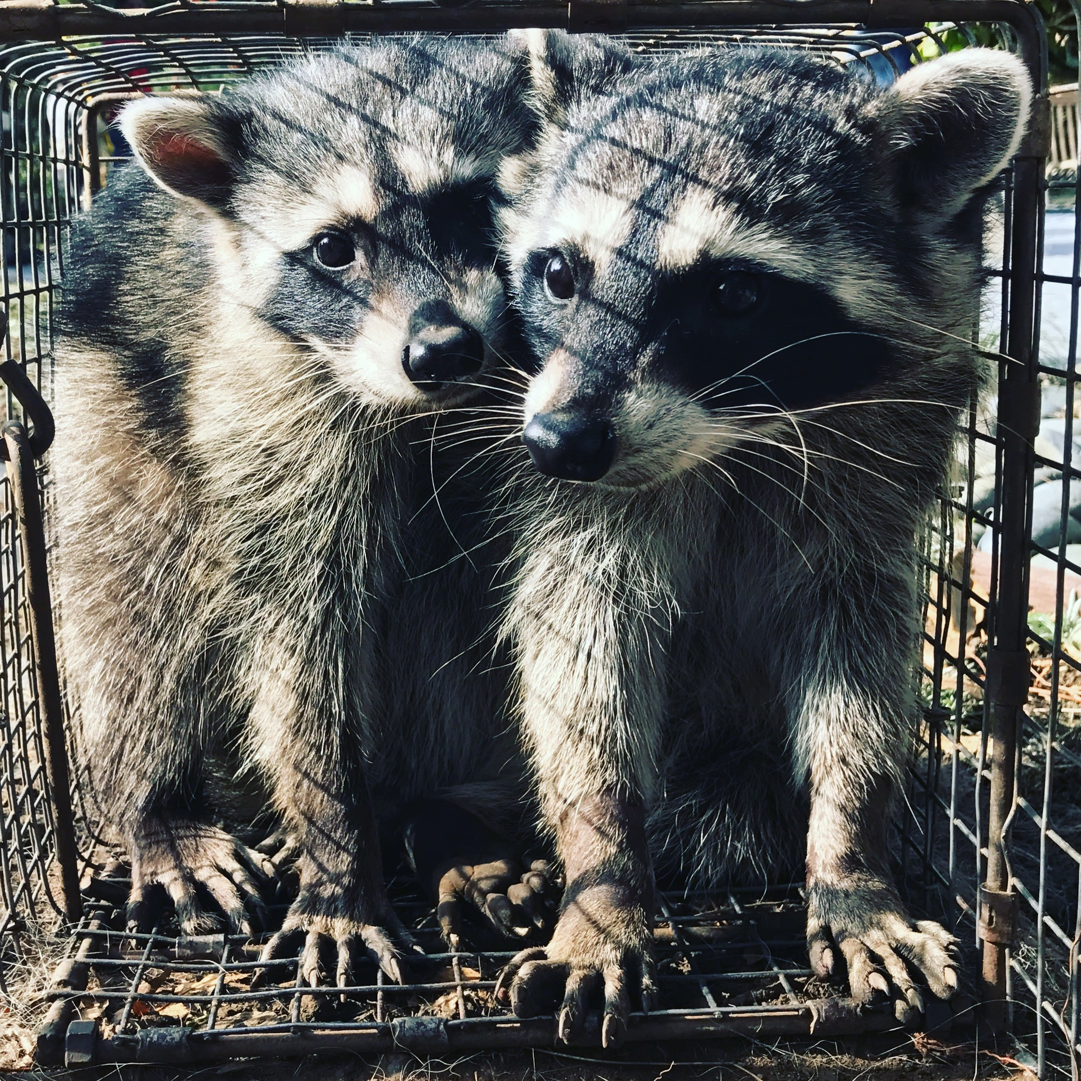 active animal trapping - San Pedro, CA 90732 - (310)809-8232 | ShowMeLocal.com