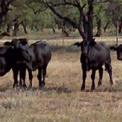 Rough Creek Cattle Company image 0