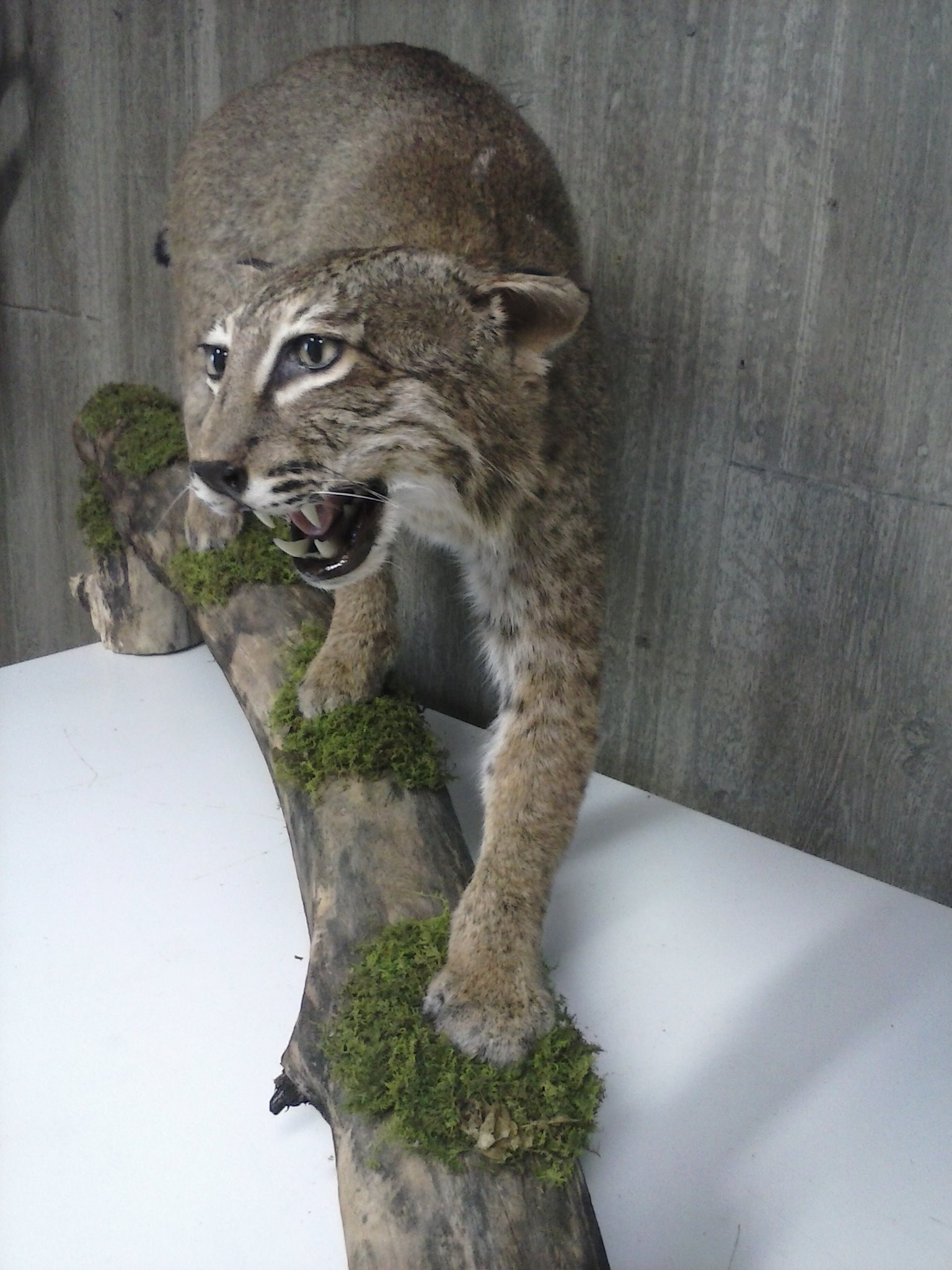 Ron's Taxidermy image 4