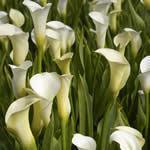 Bloemengroothandel W J van Egmond