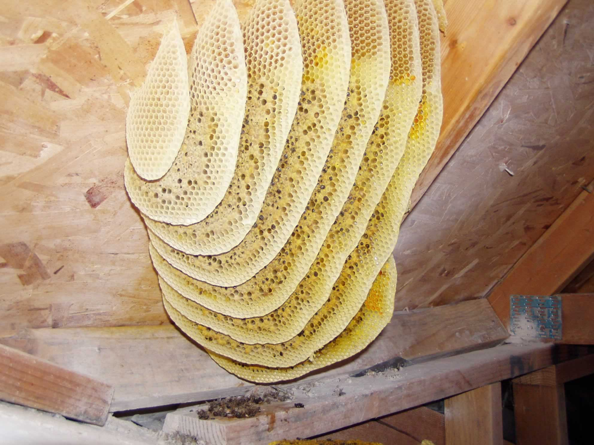 Beehive Removal and Repair image 0