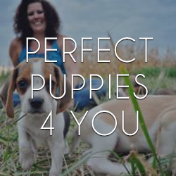 Perfect Puppies 4 You - Lamar, MO - Breeders