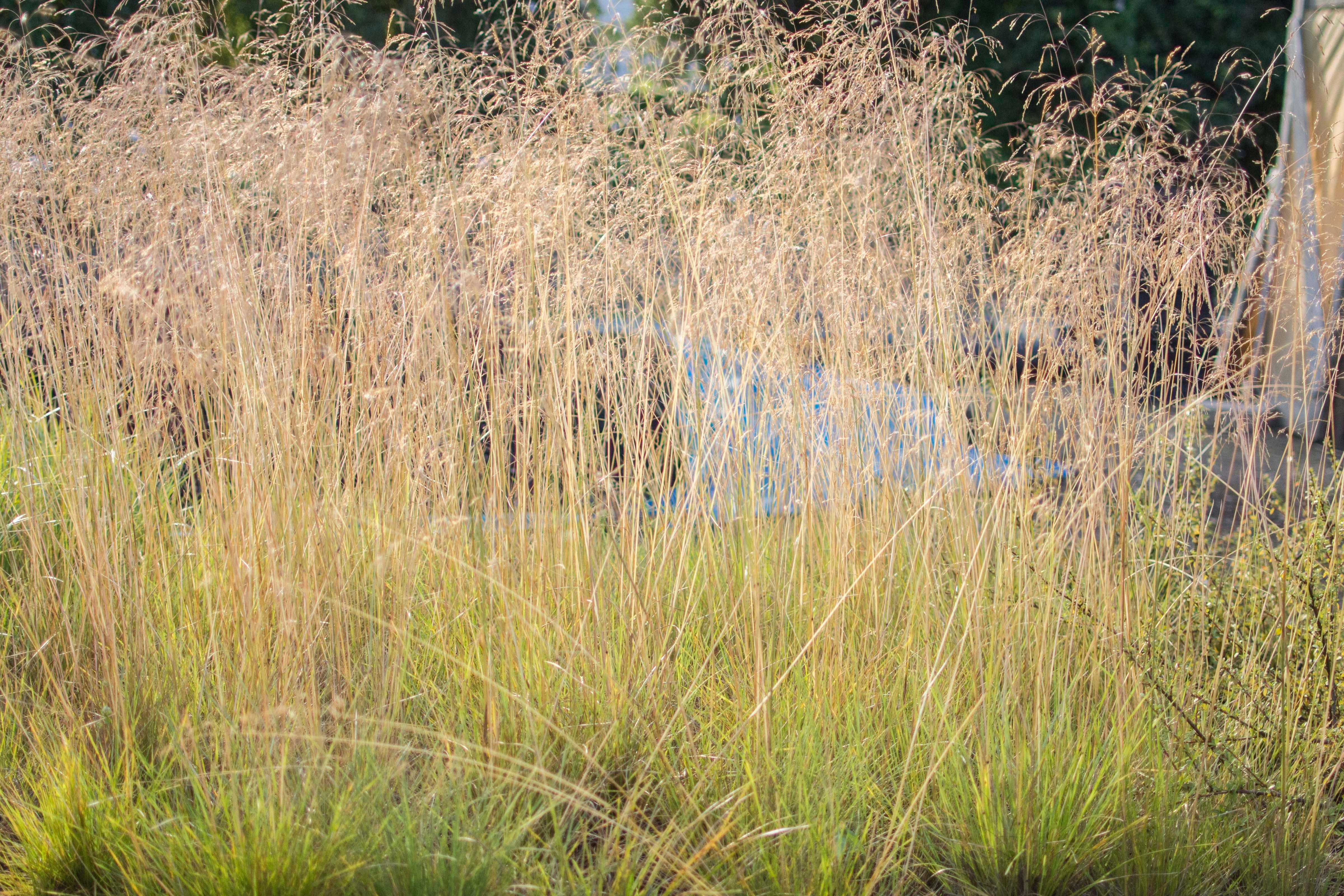 Ornamental grasses of puget sound in olympia wa 98506 for Ornamental pond supplies