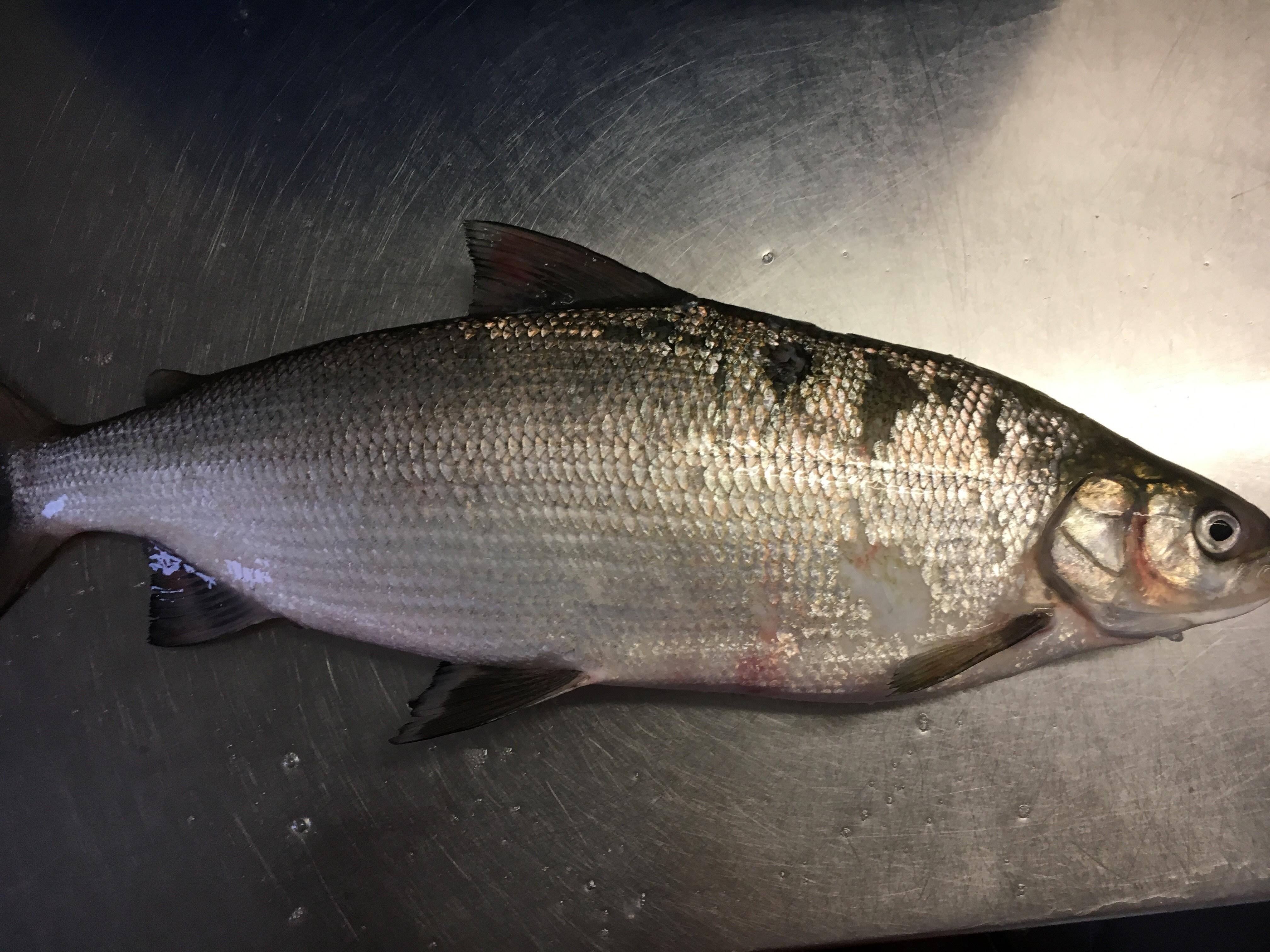 Berufsfischerei Greifensee