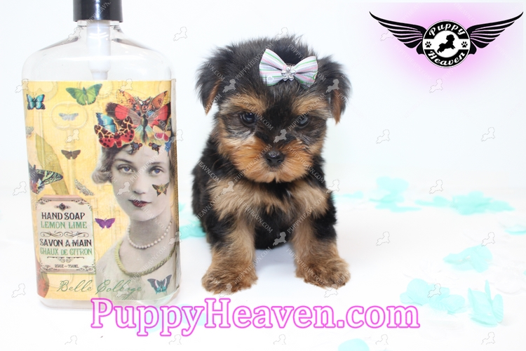 teacup yorkie breeders near me puppy heaven teacup toy puppies for sale coupons near 499