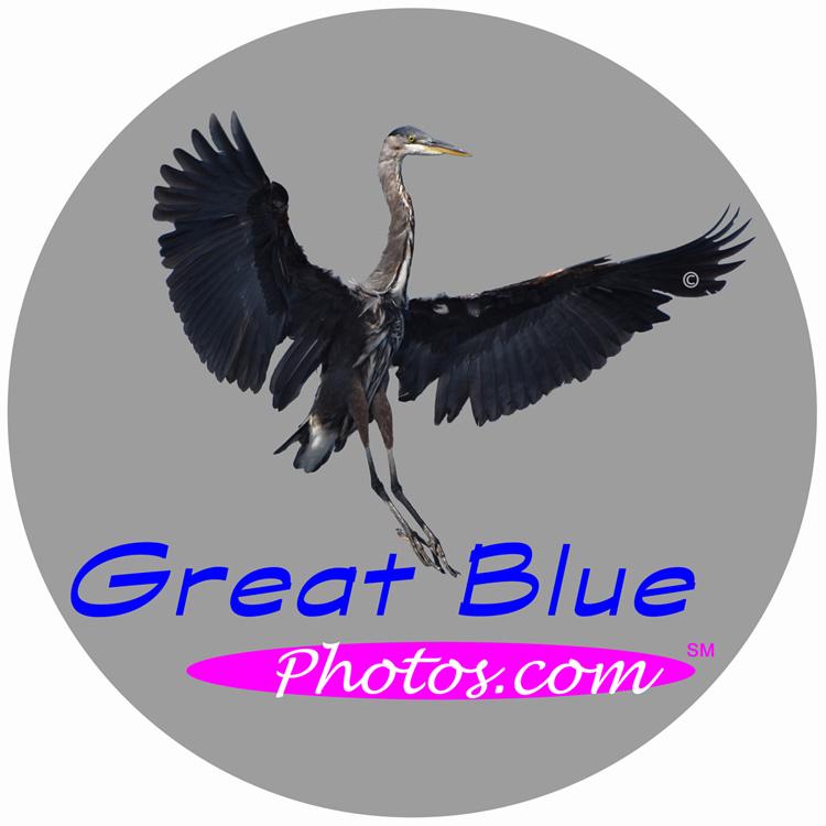 Great Blue Photos
