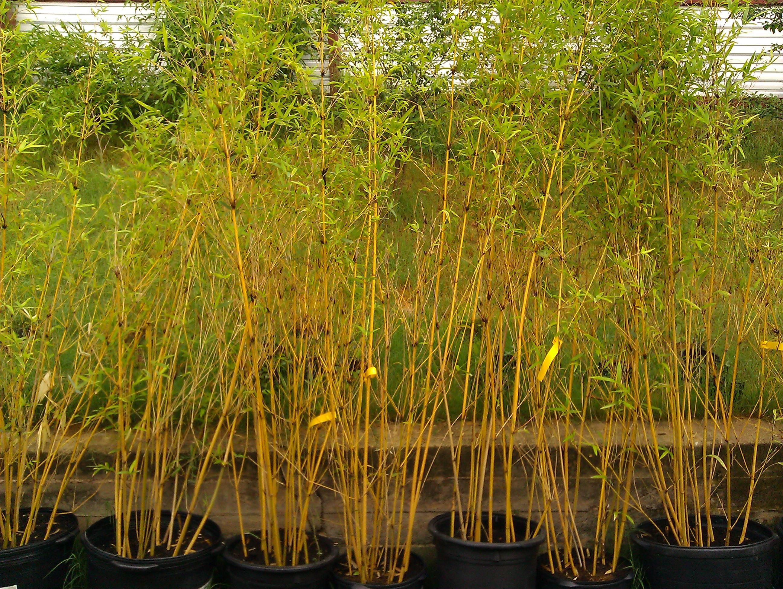 Bamboo Your Privacy Live Non Invasive Bamboo For Sale In