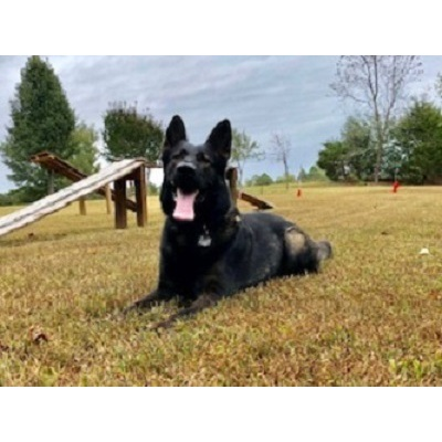 Cold Harbor German Shepherds - Sandston, VA 23150 - (804)479-0625 | ShowMeLocal.com