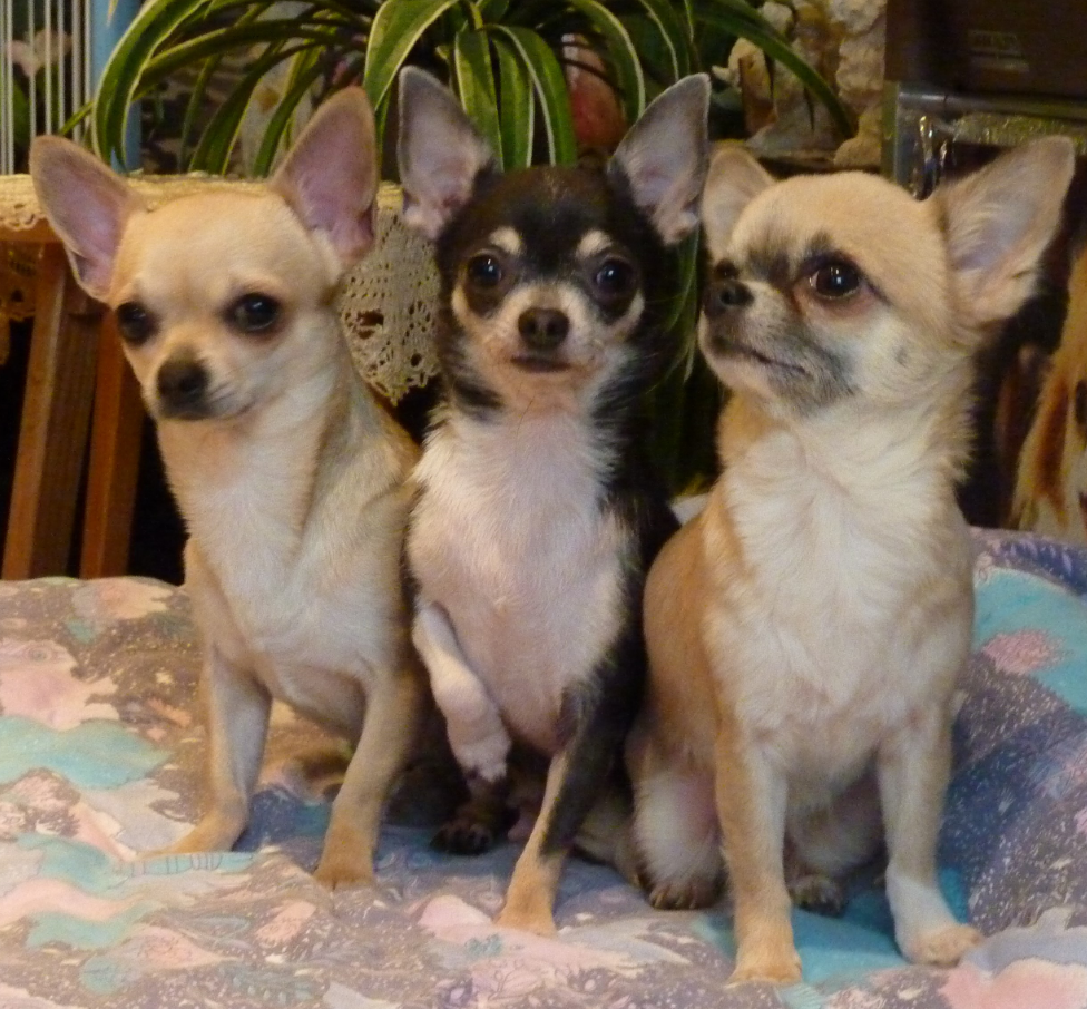 Chihuahua of Tierras Calientes