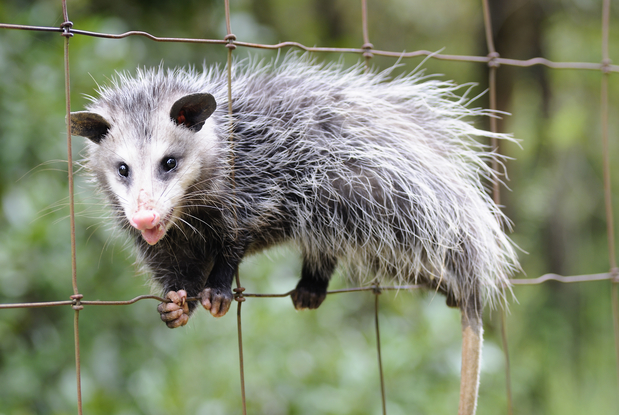 opossum-foto
