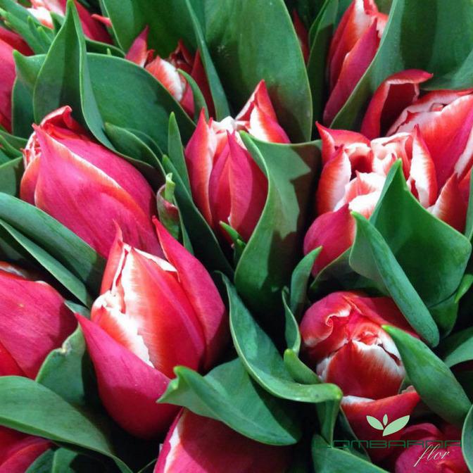 Lombarda Flor