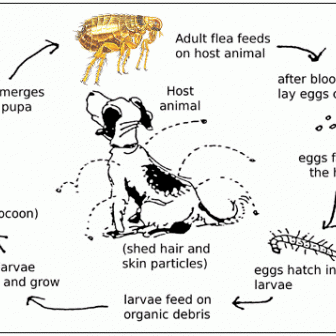 Flea infestation control