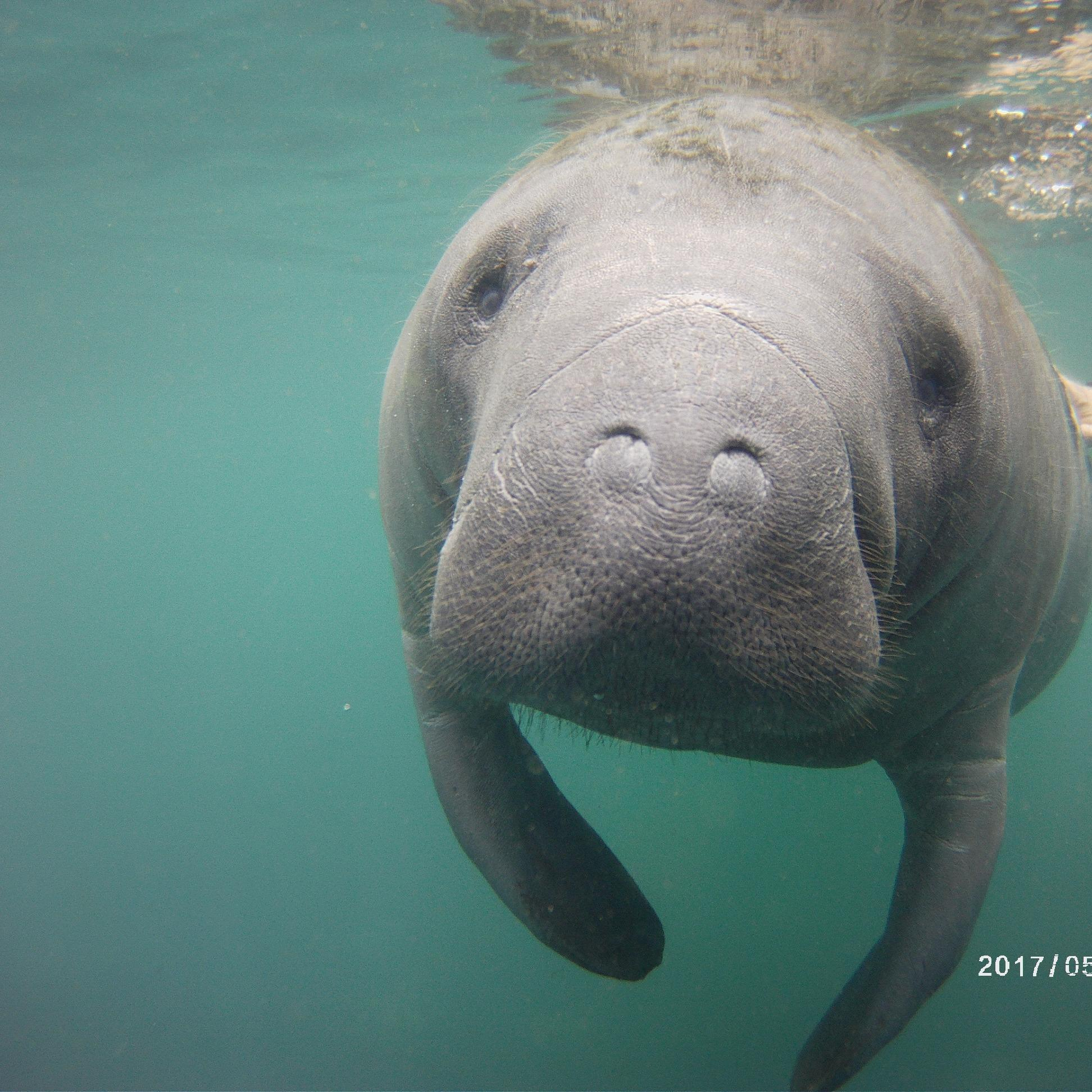 Florida Manatee Swims
