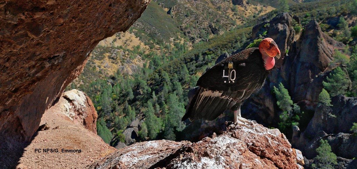 Pinnacles National Park Condor Tour