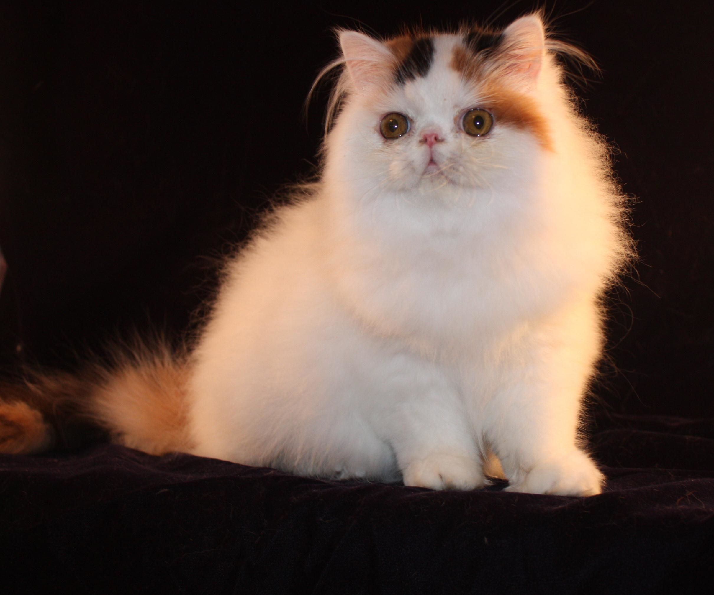 """Animal Attraction Pet Grooming  """"THE CAT GROOMER"""""""