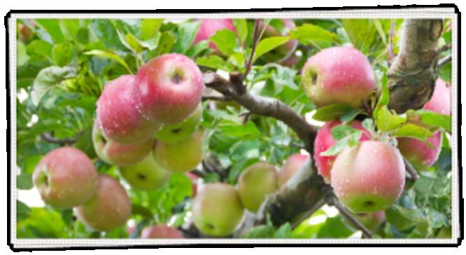 Sprout Farms Apple Orchards