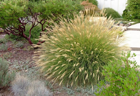 Ornamental grasses of puget sound in olympia wa 98506 for Ornamental fish pond supplies