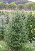 Olsommers Xmas Tree Farm