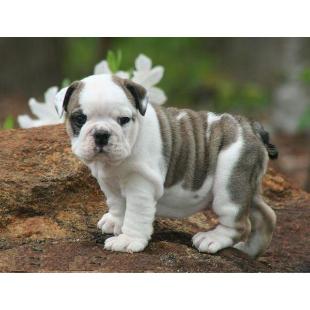 cheap english bulldog puppies cheap english bulldog puppies chamberofcommerce com 9705