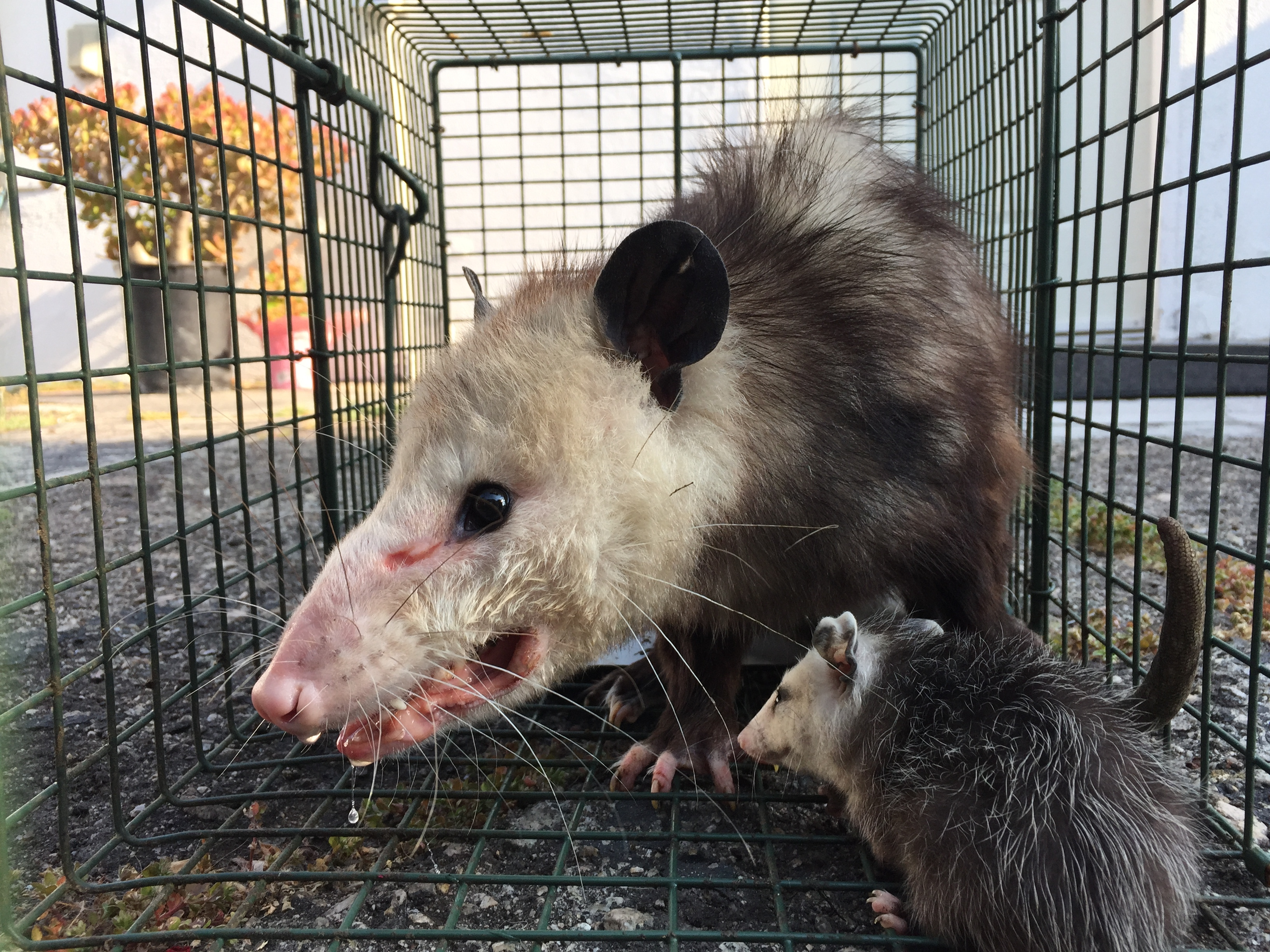 Urban Wildlife Trapping Experts Los Angeles California