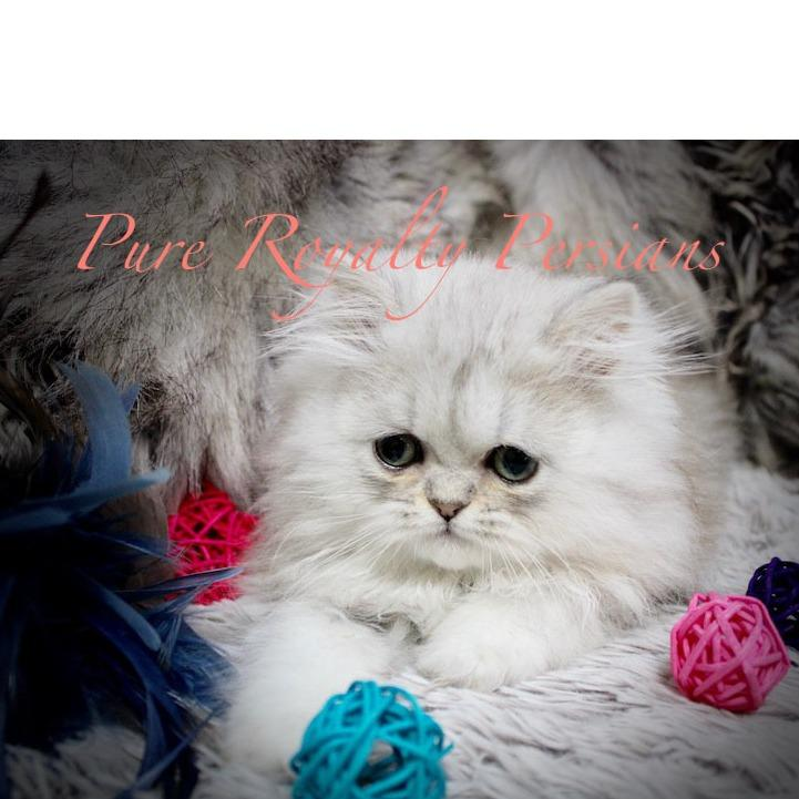 Pure Royalty Persians Medina (330)824-1035