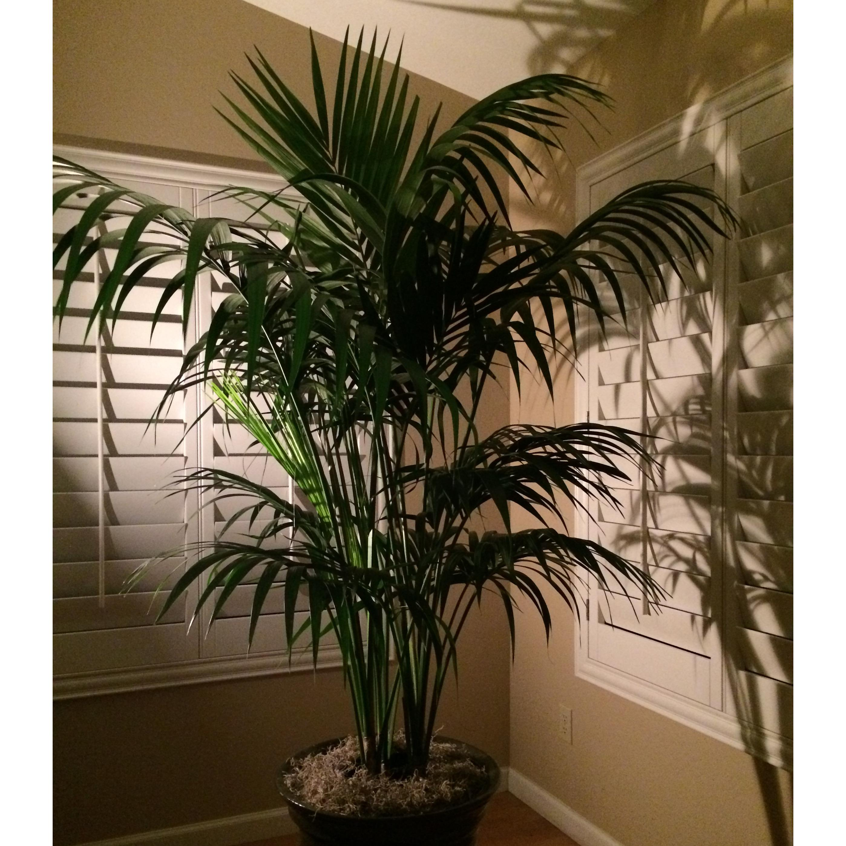 Elegant Kentias. Beautiful potted Kentia Palms for your home or residence.