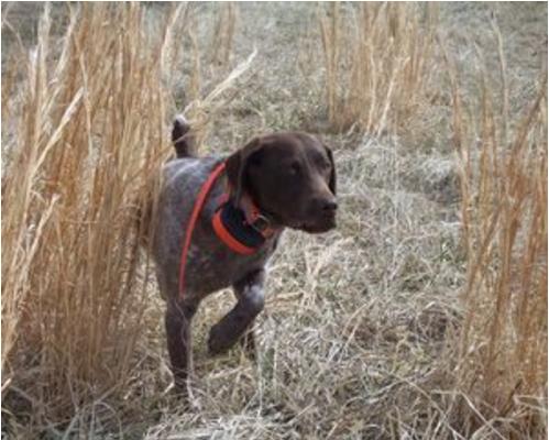 Hunting Dogs For Sale In Wichita Ks